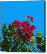 Red Bougainvillea Glabra Vine In Juniperus Virginiana Tree In Co Canvas Print
