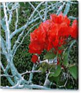 Red Bougainvillea Thorns Canvas Print