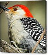 Red-breasted Woodpecker 1 Canvas Print