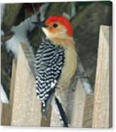 Red Breasted Woodpecker On Fence Canvas Print