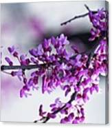Red Bud Branch Canvas Print