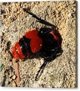 Red Burrowing Insect Canvas Print