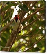 Red-capped Cardinal Digital Oil Canvas Print