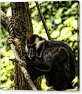 Red-capped Mangabey Canvas Print