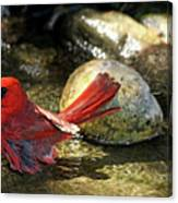 Red Cardinal Bathing Canvas Print