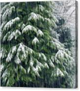 Red Cedar And Snow Canvas Print