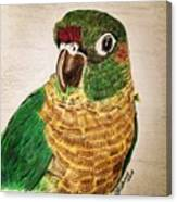 Green Cheeked Conure Canvas Print