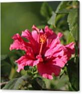 Red Chili Pepper Hibiscus Flower Canvas Print