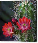 Red Claret Cup Cactus  Canvas Print