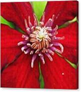 Red Clematis Canvas Print