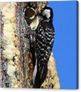 Red Cockaded Woodpecker Mother Feeding Canvas Print