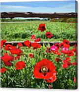 Red Corn Poppies At The Fence Canvas Print