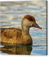 Red-crested Female Pochard Duck, Netta Rufina Canvas Print