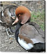 Red Crested Pochard Duck Canvas Print