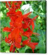 Red Crocosmia Lucifer Canvas Print