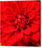 Red Dahlia Canvas Print