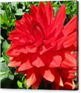Red Dahlia In The Green Canvas Print