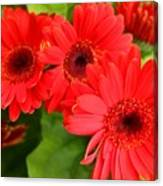 Red Daisies Canvas Print