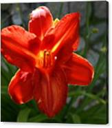 Red Daylily With Sunlight Canvas Print
