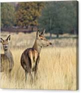 Red Deer 7 Canvas Print