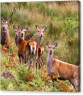 Red Deer In The Scottish Highlands Canvas Print
