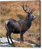 Red Deer Stag In Autumn Canvas Print