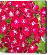 Red Dianthus Canvas Print