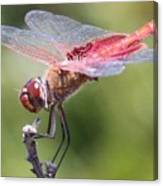 Red Dragonfly 1 Canvas Print