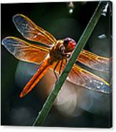 Red Dragonfly On Reed Canvas Print