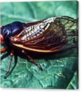 Red Eyed Cicada Canvas Print