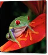 Red-eyed Tree Frog Agalychnis Canvas Print