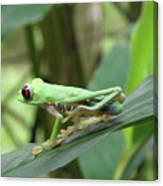 Red Eyed Tree Frog On A Leaf Canvas Print