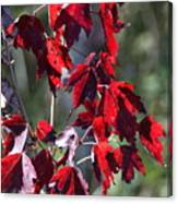 Red Fall Leaves In The Sun Canvas Print