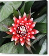 Red Flower With White Tips Canvas Print