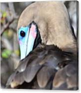 Red Footed Booby Canvas Print