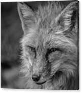 Red Fox In Black And White Canvas Print