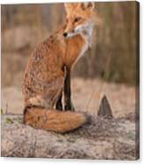 Red Fox In Pose Canvas Print