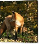Red Fox In Shadows Canvas Print