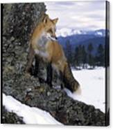 Red Fox In The Mountains Canvas Print