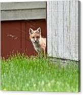 Red Fox Kit Peaking Around Old Barn Canvas Print
