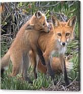 Red Fox Mama's Love Bite Canvas Print