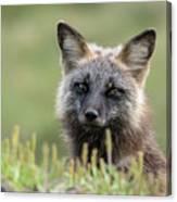 Red Fox Morph Canvas Print