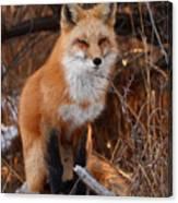 Red Fox Pausing Atop Log Canvas Print