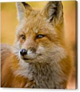 Red Fox Pictures 131 Canvas Print