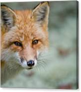 Red Fox Pictures 146 Canvas Print