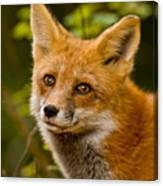 Red Fox Pictures 155 Canvas Print