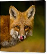Red Fox Pictures 157 Canvas Print