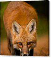 Red Fox Pictures 161 Canvas Print