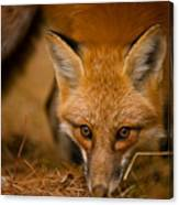 Red Fox Pictures 162 Canvas Print