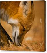 Red Fox Pictures 164 Canvas Print